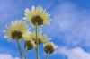 Yellow Chrysanthemums from below, blue sky