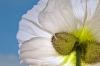 White Poppy, close up