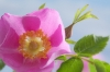 Nootka Rose; Rosa nutkana