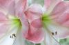 Amaryllis; Pink Diamond