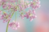 Hairy Chervil; Chaerophyllum Hirsutum Roseum;