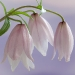 Shirui Lily or Siroi lily, Lilium mackliniae