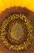 Sunflower Close-up