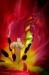 Parot Tulip, vertical image