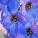 Delphinium Blossom