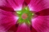 Hollyhock blossom (three images focus stacked)