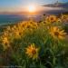 Sunflowers, Palouse Hills