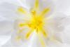 Bagonia Blossom (50.6 Megapixel).