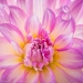 Dahlia Blossom 50.6 Megapixel image cropped to square