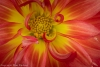Red & Yellow Dahlia Blossom. 50.6 Megapixel image
