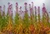 Fireweed - Alaska, Kenai Peninsula, Captain Cook State Park