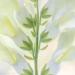 Snapdragon blossoms