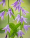 Campanula blossoms - Vertical