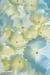 Hydrangea Blossoms - Vertical 50.6 mp