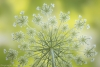 Queen Annes Lace blossom - 50.6 mp