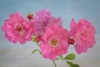 Pink Roses with Buds - 50.6mp