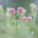 Square image of Indian Paintbrush