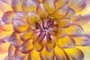 Glowing Dahlia blossom - 50.6 mega pixel image