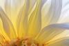 Backlit Hollyhill Moonsong Dahlia Blossom - horizontal