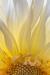 Backlit Hollyhill Moonsong Dahlia Blossom - vertical