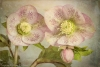 Hellebore Blossoms - Antique tone