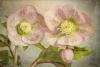 Hellebore Blossoms - Antique tone