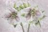 Hellebore Blossoms - Color
