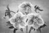 Hellebore Blossoms - Black & White