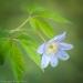 Blue Windflower