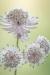 Astrantia Blossoms