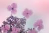 Hydrangea Blossoms