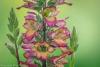 Foxglove Digiplexis (Digitalis hybrid)