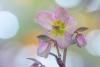 """Helleborus """"Love Bug"""" #4876"""