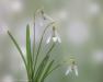 Snowdrop blossoms