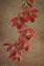 Cymbidium orchid spray #5001