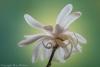 Magnolia Blossom #5116