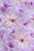 Primrose and Hyacinth Blossoms