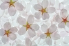 Flowering Cherry Blossoms #5235
