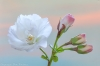 Flowering Cherry Blossom & Buds
