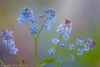 Forget-me-not in Spring #5557