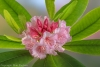 Rhododendron #5760