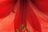 Amaryllis Blossom #5918