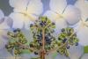 Lacecap hydrangea #62
