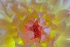 Dahlia Blossom #6356