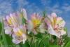 Peruvian Lilies #6688