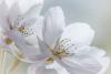 Flowering Cherry Blossoms #5266