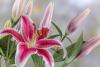 Stargazer Oriental Lily #5377