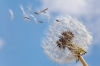 Common Dandelion; Seed blowing in wind