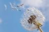 Common Dandelion; Seed blowing in wind