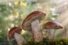 Leccinum insigne Mushrooms